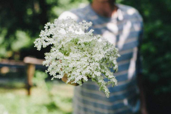 Elderflower in spring